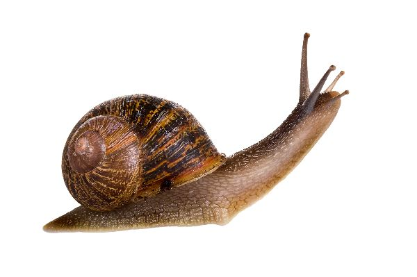 garden snail with his