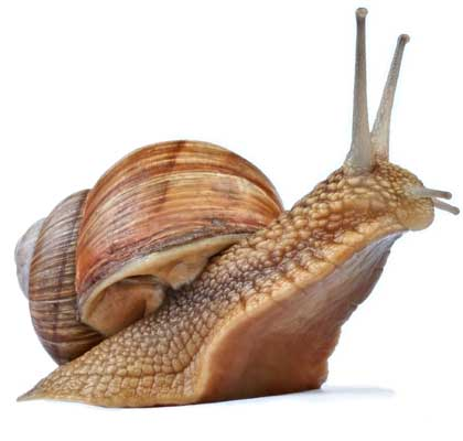 snail facts and information