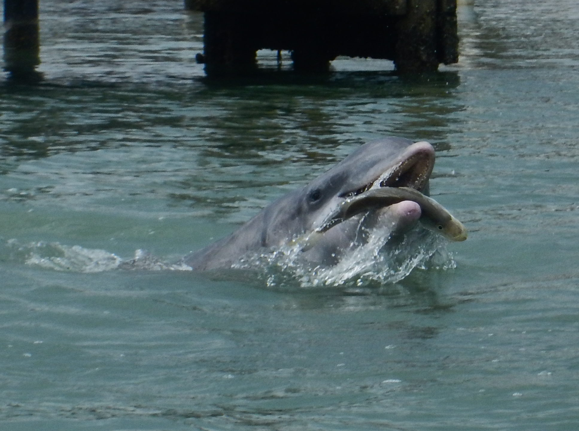 Dolphin Discoveries Project Field Update - Adventures With FL