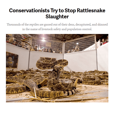 Conservationists Try to Stop Rattlesnake Slaughter