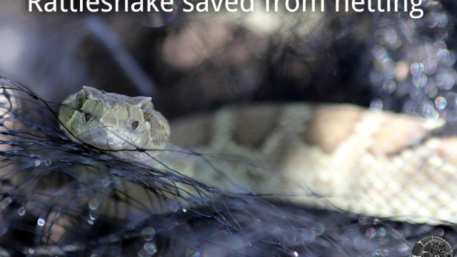 Rattlesnake saved from netting