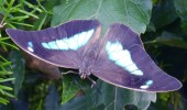 Butterfly, Symonds yat