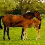 Thirsty foal