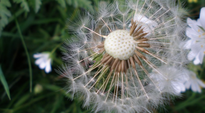 Homage to the Dandelion