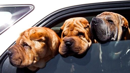 TripDoggy-Viaggiare-in-auto-con-il-cane-815x459