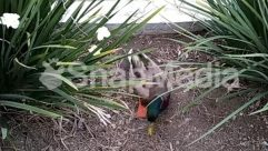 Wildlife,Waterfowl,Vegetation,Soil,Plant,Duck,Bush,Bird,Beak