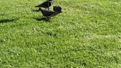 Plant, Grass, Lawn, Bird, Animal, Apparel, Clothing, Pigeon, Footwear, Dove, Agelaius, Blackbird, Waterfowl, Sports, Sport