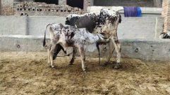 Animal, Cattle, Cow, Mammal, Calf, Longhorn, Bull, Soil, Outdoors, Dairy Cow, Nature, Bird