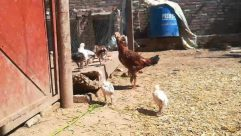 Animal, Chicken, Bird, Fowl, Poultry, Urban, Building, Soil, Zoo, Hen, Slum, Ground, Cock Bird, Rooster, Apparel