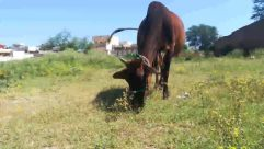 Cattle, Cow, Mammal, Animal, Bull, Dairy Cow, Outdoors, Nature, Machine, Field, Wheel, Spoke, Grassland, Countryside, Horse