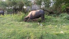 Bull, Mammal, Animal, Cattle, Cow, Nature, Outdoors, Ox, Field, Wildlife, Elephant, Countryside, Grassland, Angus, Plant