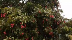 Plant, Food, Fruit, Produce, Vegetation, Persimmon, Tree, Plum, Bush, Cherry, Mango, Pomegranate, Conifer, Outdoors, Nature