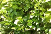 Plant, Leaf, Vegetation, Bush, Green, Tree, Outdoors, Nature, Land, Fruit, Food, Flower, Blossom, Yard, Citrus Fruit