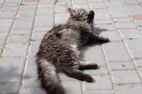 Path, Walkway, Cat, Manx, Pet, Pavement, Sidewalk, Brick, Flagstone, Kitten, Abyssinian, Floor, Bowl, Cobblestone, Slate