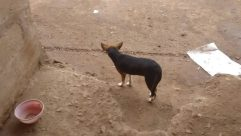 Canine, Dog, Pet, Hound, Soil, Beagle, Ground, Strap, Pig, Sand, Bird, Chihuahua, Hog, Puppy, Wildlife