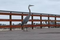 Bird, Waterfowl, Crane Bird, Heron, Stork, Egret, Pier