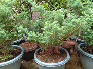 Plant, Tree, Potted Plant, Pottery, Vase, Jar, Conifer, Yew, Bonsai, Larch, Vegetation, Bush, Pine, Planter, Spruce
