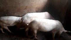 Hog, Pig, Boar, Canine, Dog, Pet, Goat
