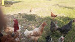 Bird, Fowl, Poultry, Chicken, Hen, Wheel, Yard, Cock Bird, Rooster, Grass, Plant, Automobile, Car, Vehicle, Beak
