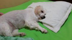 Dog, Pet, Pillow, Poodle