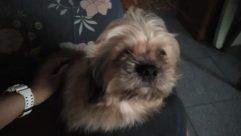 Cushion, Pillow, Dog, Pet, Canine, Wristwatch, Furniture, Couch, Affenpinscher, Terrier, Puppy, Sleeping, Asleep, Blanket, Face