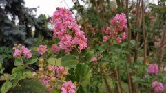Plant, Blossom, Flower, Geranium, Bush, Vegetation, Petal, Cherry Blossom, Bud, Sprout, Peony, Rhododendrom tree