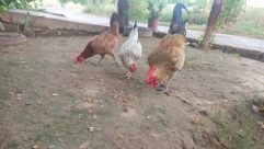 Chicken, Fowl, Bird, Poultry, Plant, Vegetation, Tree, Potted Plant, Pottery, Vase, Jar, Forest, Woodland, Land, Grove