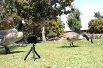 Tripod, Bird, Goose, Waterfowl, Plant, Tree, Grass, Beak, Wildlife, Zebra, Zoo, Vegetation, Forest, Land, Woodland