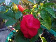 Blossom, Flower, Rose, Plant, Petal, Geranium, Leaf, Vegetation, Vase, Potted Plant, Pottery, Jar, Food, Vegetable, Planter