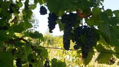 Plant, Rural, Countryside, Farm, Vineyard, Vine, Food, Fruit, Grapes, Tree, Vegetation, Oak, Leaf, Building, Shelter