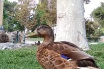 Bird, Plant, Vegetation, Woodland, Tree, Forest, Land, Grove, Waterfowl, Grass, Duck, Mallard, Yard, Beak, Oak