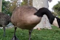 Bird, Goose, Chicken, Fowl, Poultry, Plant, Grass, Beak, Tree, Sheep, Jar, Potted Plant, Pottery, Vase, Turkey Bird