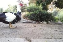 Bird, Yard, Vegetation, Plant, Beak, Zoo, Grass, Path, Goose, Soil, Duck, Tree, Fowl, Turkey Bird, Poultry
