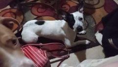 Furniture, Chair, Pet, Canine, Dog, Boston Bull, Bulldog, Puppy, Cushion, Pillow, Cat, Flower, Blossom, French Bulldog, Couch