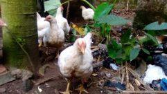 Chicken, Fowl, Poultry, Bird, Hen, Turkey Bird, Soil, Beak, Plant, Cock Bird, Rooster, Jar, Duck, Yard, Vase