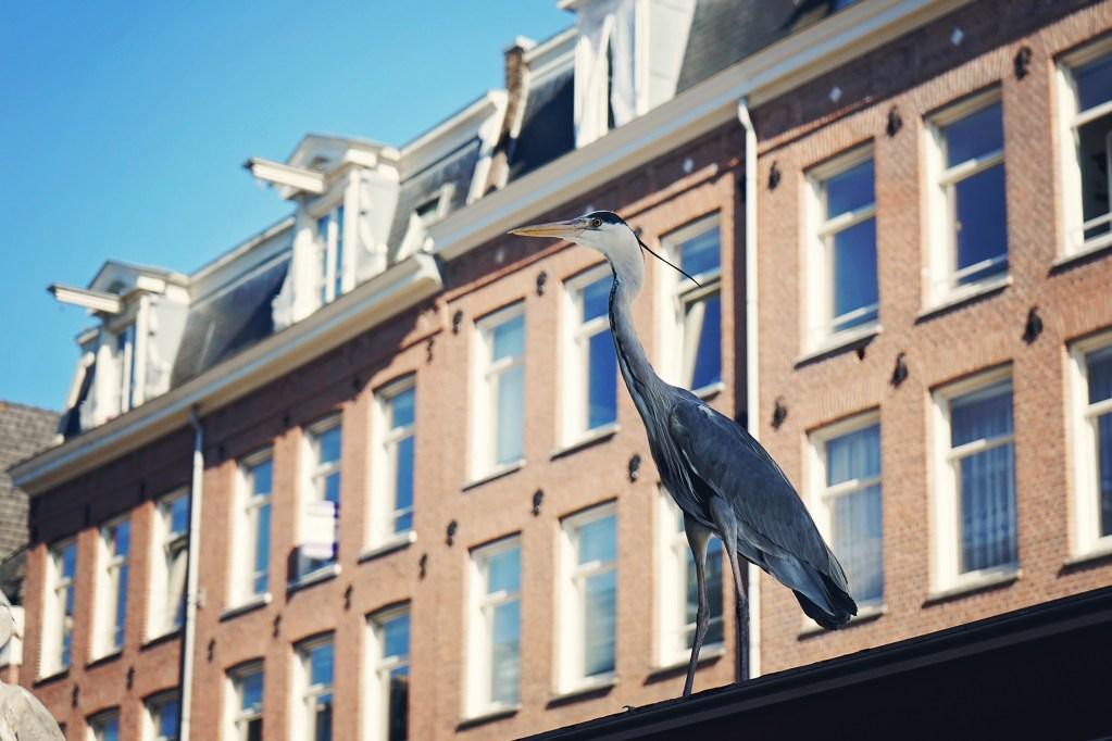 Amsterdam blue heron