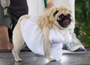 "SARASOTA, FL - FEBRUARY 25: Misty May, a pug dressed up as Marilyn Monroe walks the runway during the 9th Annual Pug Parade on February 25, 2006 in Bradenton, Florida. Misty won for ""Best Costume."" 117 pugs competed for 10 prizes in 6 categories. Proceeds from the event benefit the Sarasota County Humane Society. (Photo by Phillippe Diederich/Getty Images)"