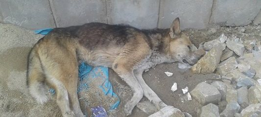 Poisoned Dog Rescued , Condition Critical, Pray For His Recovery