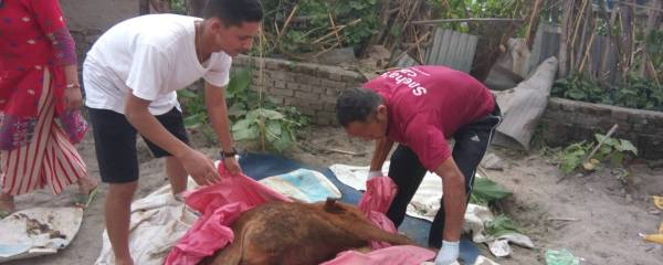 Calf in Critical Condition Rescued, Thank you Krishna & Friends, Thank you SPCA Nepal