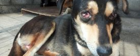 Dog with CTVT Condition Rescued From Lubhu