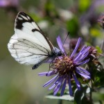 171_Pine white butterfly on aster sRGB