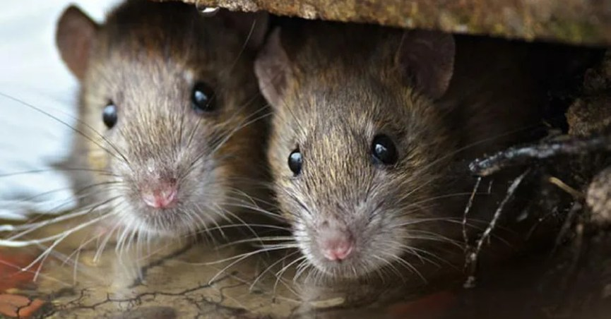 Can You Catch Leptospirosis from Rat Urine on Soda Cans?