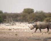 fact check is the extinct western black rhinoceros