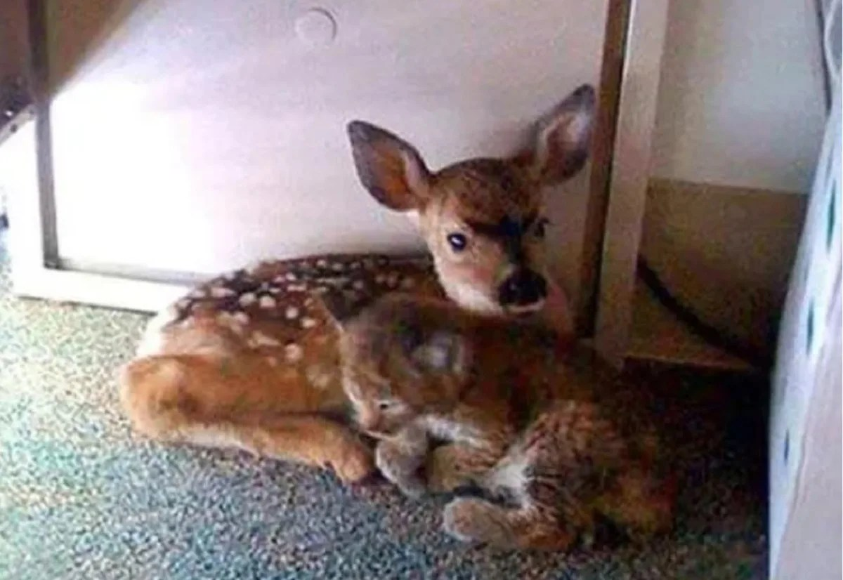 FACT CHECK Were This Fawn and Bobcat Found Huddled