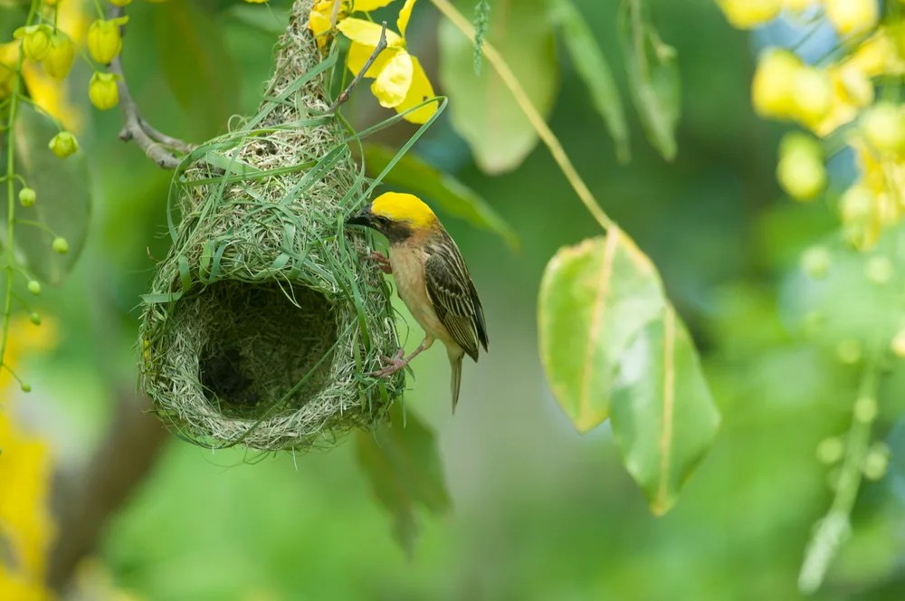 Is the Baya Weaver Bird the Only Animal That Dies When Its ...