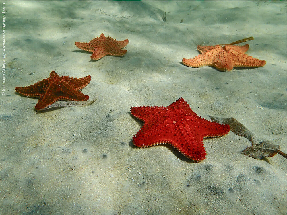 snorkeling starfish alley roatan