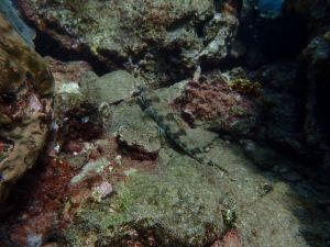 Sand Diver on reef
