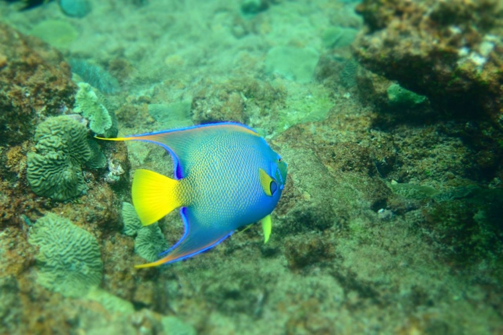 Queen Angel Fish Tobago