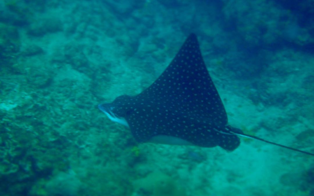 Swimming with Stingray's in Tobago