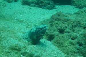 Ophichthus Aphis or the Spotted snake eel Tobago